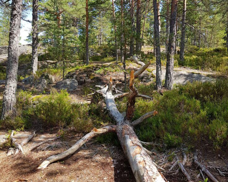 Meiko vanhaa metsää.jpg